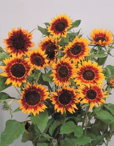 Helianthus Sunflower Ring Of Fire Annual Seeds Flowers For Butterflies, Cut Flowers, Butterfly, Garden Pavers, Concrete Garden, Sunflower Ring, Sunflower Seeds, Organic Gardening Magazine, Perennial Vegetables