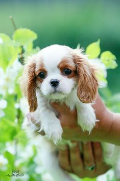 Sweet puppy More #CavalierKingCharlesSpaniel