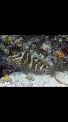 Nassau grouper Fly Fishing For Beginners, Nassau, Caribbean