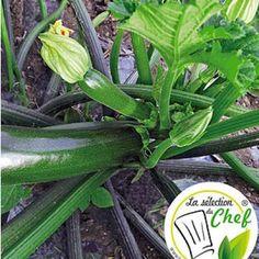 "Veredelte Zucchini ""Kimber"" F1,2 Pflanzen Cucurbita Zucchinipflanze"