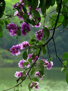 Những vòm lá thấp thoáng từng cụm hoa tím nở xoè, nổi bật. Những dây hoa tím đong đưa trong nắng, trông thật thảnh thơi.