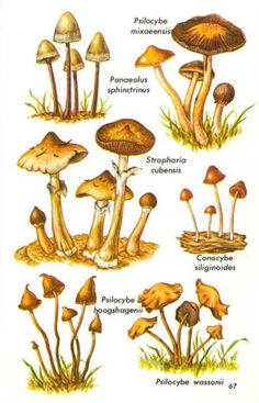 Image result for psilocybe cubensis art