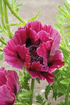 Harlem Oriental Poppy -  Check out these cool watercolor paintings http://art-watercolor.com/