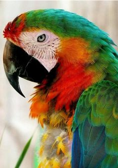 ♥♥♥•▬▬▬▬▬▬▬▬♥•✿♥♥♥ WONDERFUL MACAW DEL ESCARLATA The red-blue-winged macaw (Ara chloropterus), also known as the red-and-green macaw,It is a large mostl... - La China - Google+