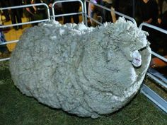 This Unshorn Sheep Is Virtually Unrecognizable (Pic)