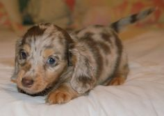 Dappled Dachshund,,,,soooooooo cute!!!