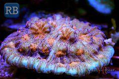 Chalice Coral WM