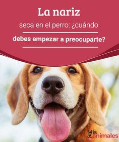 La nariz seca en el perro: ¿cuándo debes empezar a preocuparte? La nariz seca en el perro, asociada a otros signos clínicos, puede estar indicando patologías con distinto nivel de gravedad. No dejes de consultar al veterinario. #nariz #perro #consultar #salud