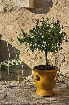 Anduze pots of Provence Garden Urns, Garden Planters, Planter Pots, Olivier En Pot, Potted Olive Tree, Potted Trees, Potted Plants, Olive Jar, Pot Jardin