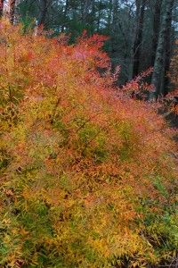 Spiraea 'Ogon' has golden foliage in spring and summer but turns these gorgeous fiery shades in fall.