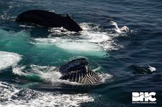 04-26-2015 TB kickfeeding and bubble netting humpback whales in Massachusetts Bay.