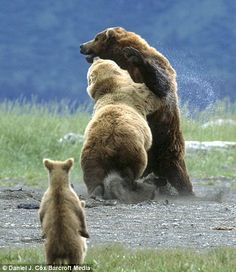 Grizzly momma protecting her cub against a much larger male opponent ... don't mess with mothers !!!