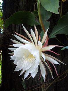 flowering cactus - Google zoeken