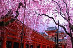 Цветущая сакура – картинки. Смотреть красивые фото сакуры.