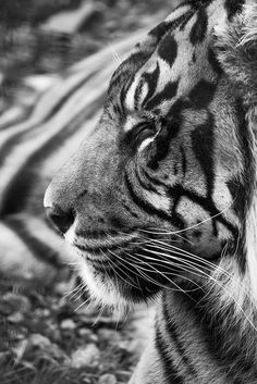 Sumatran Tiger (Rengat) by HollyBerry255 on Flickr.
