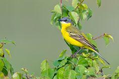 Yellow Wagtail ( L: Motacilla flava / N: Gulerle )