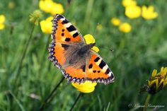 Orange vision (aglais urticae)
