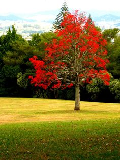 Illawarra Flame Tree (Brachychiton acerifolius?) I love these trees, they look so amazing when there are 8 or 10 of them. They take a while to grow though. Look great with purple Jacarandas too.
