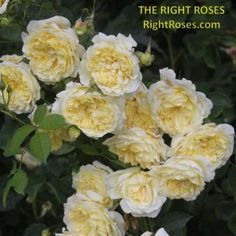 Princess Alexandra of Kent Rose Review   David Austin 2007 - The Right Roses Darcey Bussell Rose, Lady Of Shalott Rose, Abraham Darby, Jude The Obscure, Garden Rose Bouquet, Small Shrubs, Shrub Roses, Princess Alexandra, David Austin Roses