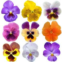 Set of nine pansies