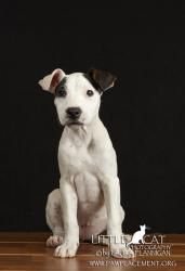 Molly is an adoptable American Bulldog Dog in Scottsdale, AZ. SPOILER ALERT: Mollys story starts off sad but then gets better. THE SAD PART: A female mixed pit-bull was found on the Salt River Pima M...