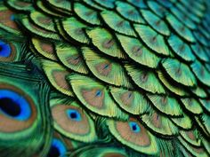 Peacock, Florida by Lorenzo Cassina