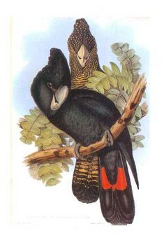 "Long-billed Red-tailed Black Cockatoo Reproduction print from a hand-coloured lithograph of the superb ""Birds of Australia"" by John Gould, published in London between 1840 and 1848. http://www.heritage-editions.com.au/p-65-01-john-gould-australian-cockatoo-long-billed-red-tailed-black-cockatoo.aspx"