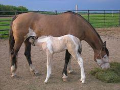 Bay Splash White Mom and Buckskin Tobiano Baby (Dad: Cream alleles, any base, Tobiano) Pinto Horses, Animal Room, Painted Pony, Horse Ranch, Breyer Horses, Palomino, Donkeys, Pets, Painting