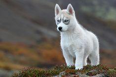Siberian Husky Pup - Valkyrja by baldvinh, via Flickr