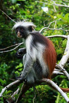 red colobus monkey   Colobus Monkey Photograph - Red Colobus Monkey by Aidan Moran