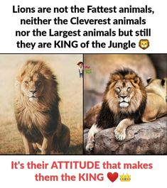 Lions are not the fattest animals, neither the cleverest animals nor the largest animals but still they are king of the Jungle. Lion Quotes, Babe Quotes, Real Life Quotes, Hurt Quotes, Crazy Quotes, Reality Quotes, Badass Quotes, Inspirational Quotes With Images, Inspiring Quotes About Life
