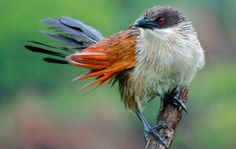 Burchell's Coucal. Photo by Addo Animals