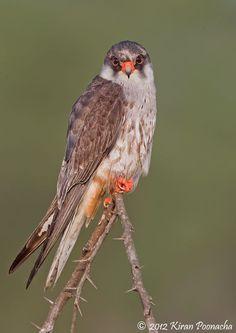 Amur Falcon, a Juvenile male