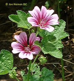 MALLOW or malva sylvestri   BEST LINK FOR diet of russian tortoise and what is poisonous to them