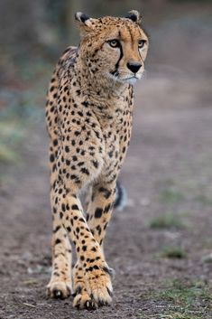 That Kind Of Woman · bigcatkingdom: Gepard (by African Cats, African Animals, Nature Animals, Animals And Pets, Cute Animals, Beautiful Cats, Animals Beautiful, Cheetah Pictures, Ocelot