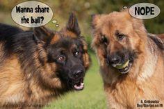 No, it's #mine #GSD #shepherds