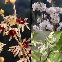 Scented | Winter Flowering Fragrant Shrub collection - A delightful shrub collection, with lovely and sweet-smelling flowers in the deepest winter months. Includes creamy white Sarcococca 'Christmas Box' and Viburnum 'Charles Lamont' which is rose pink, completed by Chimonanthus praecox (Wintersweet), with bold & bright yellow flowers. #affiliate #scented #shrubs