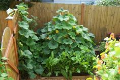 sturdy squash trellis by digginFood