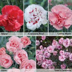 Dianthus 'Perfumed Pinks' Collection - Perennial & Biennial Plants - Thompson & Morgan