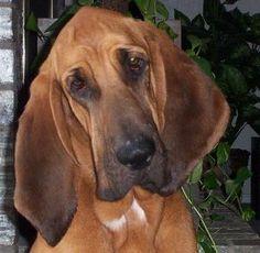 bloodhound photo | KC's Dog Ecards - Bloodhounds