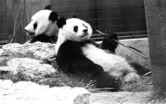 The history of giant pandas in the UK. Ching-Ching and Chia-Chia, however with all of the technology and best intentions of London Zoo, failed to produce any offspring Zoo Animals, Panda Bear, About Uk, History, Giant Pandas, Pictures, Photograph, Technology, London