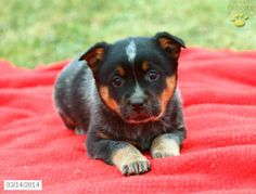 Blue Heeler Australian Cattle Dog Puppies For Sale In Pa Hannah Pinterest Cattle Puppys