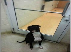TOMMY - ID#A008087My name is Tommy and I am a neutered male, black brindle and white Boxer and and Pit Bull Terrier.I am about 1 year old.I have been at the shelter since Jan 18, 2014.Would you like to APPLY NOW to adopt this sweetheart?