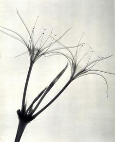 Photographies aux Rayons des Années 1930 de Détails délicats de Fleurs (6)