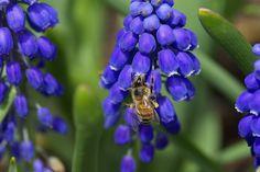 Traubenhyazinthe, Blume, Biene, Art, Insect, Makro