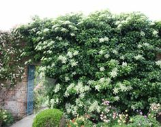Climbing Hydrangea. Sadly doesn't come with the Victorian garden wall.