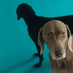 Blue Wednesday by William Wegman Blue Weimaraner, Animals And Pets, Cute Animals, William Wegman, Animal Wall Decals, Pet Id, Sale Poster, Vizsla, Puppy Love