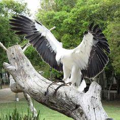 Rare albino bald eagle