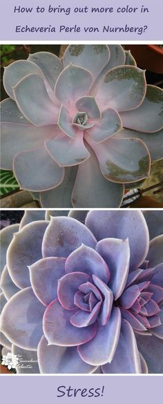 How to stress succulents to make them more colorful and more fit to survive!