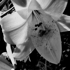 White Tiger Lily